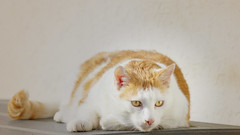 Willow (No_Water) Tags: red white cat ginger tiger willow