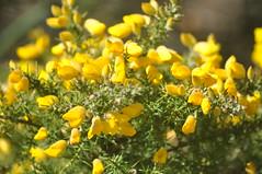 Pavilion_Gardens_0024 (Peter-Williams) Tags: uk flowers garden sussex countryside brighton crocus daffodil parkland carmelia paviliongardens