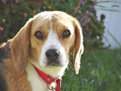 Beagle (pat.bluey) Tags: flowers beagle animals g amp australia coco newsouthwales blacktown 1001nights mygarden mydog quoth onlyquot 1001nightsmagiccity hennysanimals sunrays5