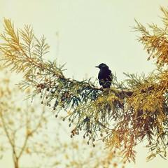 Backyard sentinel (liquidnight) Tags: camera birds animals oregon portland backyard nikon bokeh wildlife birding urbanwildlife perch pdx laurelhurst crows birdwatching alert corvusbrachyrhynchos americancrow watchful d90 uploaded:by=flickrmobile flickriosapp:filter=nofilter