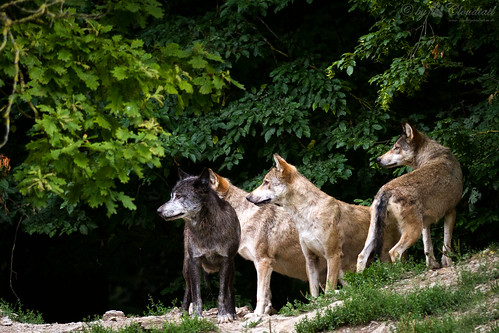 Pack of wolves by Cloudtail the Snow Leopard, on Flickr