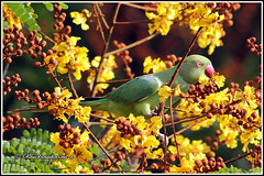 4033 - parakeet enjoying copper pod tree flower (chandrasekaran a 34 lakhs views Thanks to all) Tags: flowers trees india nature birds parakeet handheld chennai tamron200500mm copperpod canon60d