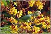 4033 - parakeet enjoying copper pod tree flower (chandrasekaran a 44 lakhs views Thanks to all) Tags: flowers trees india nature birds parakeet handheld chennai tamron200500mm copperpod canon60d