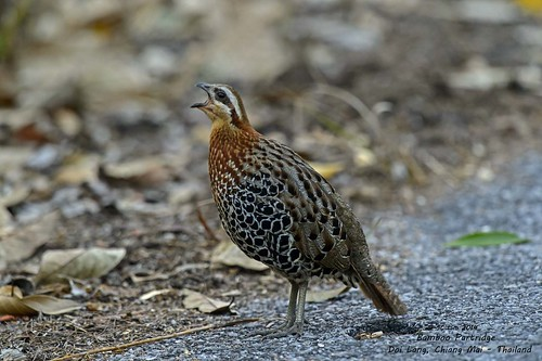 Mountain Bamboo Partridge @ Doi Lang - Chiang Mai_20140310_532