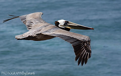 CALIFORNIA BROWN PELICAN (PHOTOGRAPHY|bydamanti) Tags: california pelicans birds closeup oceanbeach birdsinflight sunsetcliffs evilconspiringpelicans