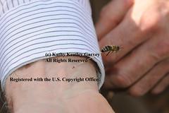 Honey bee sting (pho-tog) Tags: sting stolen stinger honeybee copyrightinfringement guts workerbee beesting donotsteal thoushaltnotsteal ericmussen letitbee photothievery abdominaltissue