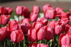 In Trädgårdsföreningen Park (nahid-v) Tags: park people flower nature water colors birds garden landscape spring view tulips may blomma utsikt maj vår landskap trädgården tulpan