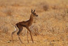 First steps! (Rainbirder) Tags: kenya samburu grantsgazelle nangergranti rainbirder