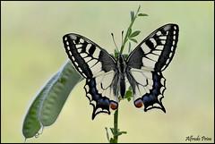 Papilio machaon (alfvet) Tags: macro nikon ngc butterflies sigma natura 150 npc insetti farfalle parcodelticino platinumheartaward veterinarifotografi d5100 macroelitecontestwinner