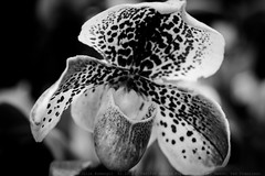 63rd  Annual Pacific Orchid Exposition (julesnene) Tags: sanfrancisco blackandwhite bw orchid flower macro flora orchids monotone fortmason paphiopedilum 2015 pacificorchidexposition julesnene thethrillofdiscovery juliasumangil canonef100mmf28lmacroisusm canon7dmarkii canon7dmark2 63rdannualpacificorchidexposition