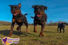 Hades, Valkyrie and Batman (JTriggPhoto) Tags: pug rottweiler rottweilers