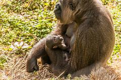 JaxZoo_2-9-15-5471 (RobBixbyPhotography) Tags: baby animals cub babies gorilla lion lemur giraffe colobus egret bonobo siamang