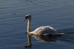 Roath Park 9th Feb 2015 029 (jasondunn2014) Tags: blue white lake bird water beautiful birds proud canon swan royal waterbird 7d graceful