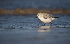 On the Beach (Matt Cawrey Wildlife Photography) Tags: uk winter sea nature coast wildlife norfolk january shore sanderling titchwell rspb 2015