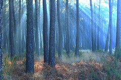 seignosse foret landaise au petit matin avec une petite brume  2 seignosse Landes forest in the morning with a little mist 2 (dudulandes) Tags: wood france fog forest canon french pins bleu foret brouillard artistique seignosse landes aquitaine experince brumes