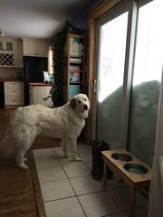 but I want to go out! (ekpatterson) Tags: door winter dog snow puppy print snowstorm february blizzard drifts baloo greatpyrenees 2015