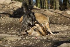..ganz klar wer hier hher und wer niedriger steht (Piefke La Belle) Tags: wolf gray pack lupus canis