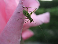 Cricket nymph on pink rose 2 (beneventi2013) Tags: orthoptera tettigoniidae ensifera canonpowershota610 paolobeneventi