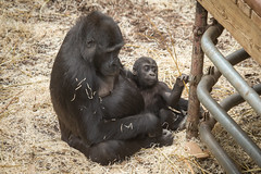 2015-02-19-12h39m54.BL7R3331 (A.J. Haverkamp) Tags: zoo gorilla arnhem thenetherlands burgerszoo dierentuin westernlowlandgorilla naika westelijkelaaglandgorilla nirale canonef100400mmf4556lisusmlens httpwwwburgerszoonl pobarnhemthenetherlands dob01022005 dob23112013