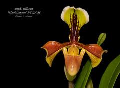 Paph. villosum 'Black Canyon' HCC/AOS (Orchidelique) Tags: plant orchid nature award paph blackcanyon hcc aos paphiodilum villosum ncos ncjc 20151153 highlycommendedcertificate