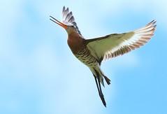 Sky Dancer (Ger Bosma) Tags: sky male bird flying flight backlit calling godwit grutto blacktailedgodwit wadingbird limosalimosa waderbird uferschnepfe agujacolinegra bargequeuenoire pittimareale 2mg36534