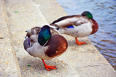 Why are the ducks sleeping on one leg ? (misi212) Tags: sleeping ducks