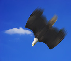 An  Eagle diving for food (ClaraDon) Tags: photoshop eagle
