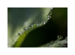 Along the ridge (francine koeller) Tags: green water leaf drops waterdrop eau vert sphere droplet goutte feuille feuillage gouttelettes gouttelette