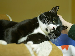 Watson_02 (AbbyB.) Tags: rescue pet cat newjersey feline shelter adopt adoptable shelterpet petphotography easthanovernj mtpleasantanimalshelter