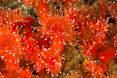 Plymouth-201605-HandDeeps1-Anemone16-Jewel-CorynactisViridis (Tony J Gilbert) Tags: macro marine underwater plymouth diving scylla jameseaganlayne nikond300 handdeeps wwwdivingplymouthcom ceeking hilseapointrocks