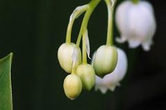 Lilies (arjaluoto) Tags: espoo suomi finland maisema koti kasvi lilyofthevalley uusimaa kevt lhikuva kielo vuodenaika paikka ymprist luonnonkukka kukkanen makrokuva placeplaces aihettainenlajittelu kuvausymprist friisinniityntie31 luonnonkukkanen puutarhakukkanen