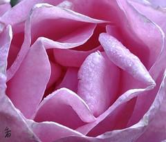 _DSC1836 - Macro de rose (Le To) Tags: flower macro texture nature fleur rose plante nikon pastel fiore extrieur calme ptales gouttesdeau nikond5000 motiforganique