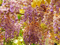 Wisteria (Nomadic074) Tags: flowers light nature colours wisteria