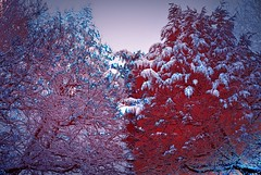 Snowy Trees Treated (unclebobjim) Tags: snow leylandii oak hdr hdr2darkroompro redwash spotlight awardtree shockofthenew artdigital netartii digitalartscenepro chromophilecrew artforeveryone maxfudge glow bravo55555 2layercomposite greenscene abstractcomposite