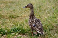 _F0A8143.jpg (Kico Lopez) Tags: birds rio spain aves galicia lugo mio anasplatyrhynchos anadeazulon