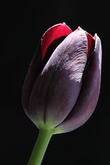 midnight (Wo Mue Ov) Tags: rot blte tulpe violett