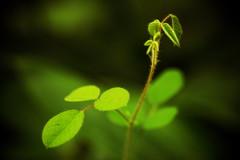 new greens (N.sino) Tags: leaf bud     xt1 xf60mmf24r