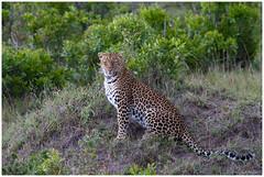 Leopard - Luipaard (Panthera pardus) in Kenya ... (Martha de Jong-Lantink) Tags: kenya safari leopard kenia maasaimara luipaard 2011 pantherapardus janvermeer
