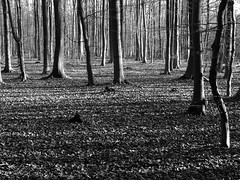 silvan structures (vertblu) Tags: wood trees winter bw forest woodland mono woods fallenleaves beechwood inthewoods beechtrees vertblu rgenwald