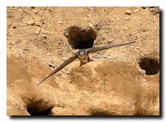 Sand Martins at Barmston - East Yorkshire 5 (andyrotchell) Tags: eastyorkshire barmston sandmartins nestinginthecliffs