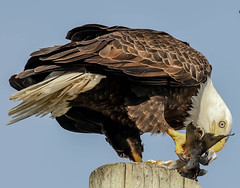 you never know what you will see....waiting for my sweetie pie (island deborah- nature website deborahfreeman.ca- ) Tags: vancouver island eagle feeding ngc npc parksville sunrays5