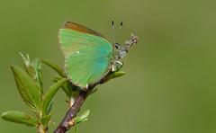 Green Hairstreak (Callophrys rubi). (Bob Eade) Tags: macro green insect spring butterflies sigma lepidoptera seaford hairstreak greenhairstreak callophrysrubi southdownsnationalpark nikond610