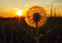 Silent Spring (Matt Champlin) Tags: life sun green nature field weather canon landscape spring warm farm warmth peaceful sunny dandelion lush springtime 2016 bringonspring