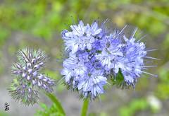 _DSC1334 -Fleurs bleues (Le To) Tags: flowers nature fleurs nikon bokeh bleu fiori extrieur effetbokeh nikond5000