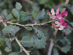 Grevillea insignis ssp insignis, Kings Park, Perth, WA, 18/05/16 (Russell Cumming) Tags: plant perth kingspark westernaustralia grevillea proteaceae grevilleainsignis grevilleainsignisinsignis