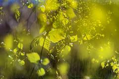 Multiple Nature 333 (pni) Tags: light suomi finland leaf helsinki branch multipleexposure birch helsingfors tlnlahti tripleexposure multiexposure skrubu pni tlviken pekkanikrus