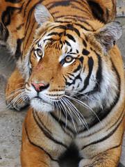 Tiger (meeko_) Tags: africa animals gardens tampa florida tiger themepark buschgardens attraction busch buschgardenstampa buschgardensafrica buschgardenstampabay jungala
