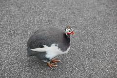 Guinea fowl MONA (deepwarren) Tags: chicken guinea mona fowl hobart guineafowl
