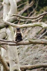 2016.03.23 - 1215.26 - NIKON D7000 - 87 (bigwhitehobbit) Tags: 2016 edinburghzoo family march monkey