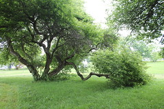 My Plum! (Moon Rhythm) Tags: trees sad plum damage mybackyard plumtrees